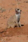 Digging meerkat. A meerkat digging for grubs in the kalahari desert Royalty Free Stock Image