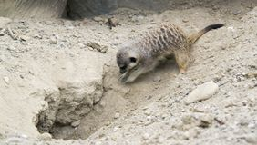 Digging Meerkat Stock Photos