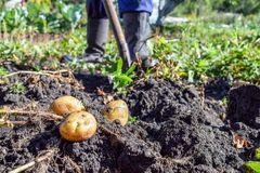 Digging out of potato by shovel at garden in autumn with boots at background royalty free stock photos