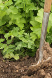 Digging parsnips Stock Photo