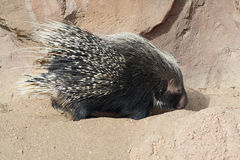 Digging Porcupine Stock Photo