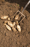 Digging Potatoes Royalty Free Stock Images