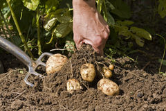 Digging potatoes Stock Photos