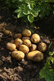 Digging potatoes in garden. First harvest of organically grown potatoes Royalty Free Stock Photos