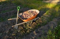 Digging potatoes Stock Image