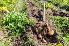 Digging potatoes with shovel on the field from soil Stock Image