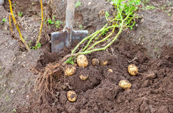 Digging potatoes with shovel on the field from soil Stock Images