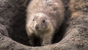 Digging prairie dog Stock Photo