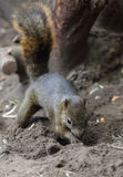 Digging Squirre. A cute little digging squirrel royalty free stock image