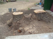 Digging stump. Old timber tree Royalty Free Stock Photos