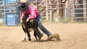 Digging in for the takedown. Cowboy wrestling calf he has roped Royalty Free Stock Image