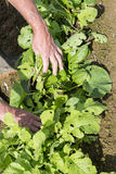 Digging up fresh black radish by gardener in the garden. Digging up fresh black radish with hands gardener in the garden, close up on hands Royalty Free Stock Photo