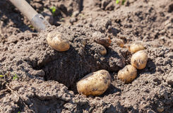 Digging up fresh home grown potatoes Royalty Free Stock Photos