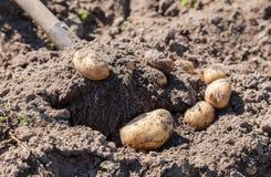 Digging up fresh home grown potatoes Royalty Free Stock Photos