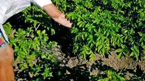 Digging up fresh organic potatoes stock video