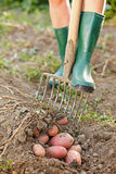 Digging up the potatoes Royalty Free Stock Photos