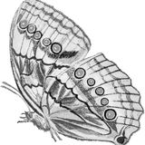 Digital butterfly Drawing. Black and white drawing of a butterfly stock photography