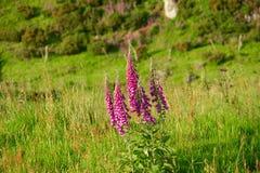 Digital cor-de-rosa em Escócia Imagens de Stock