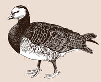 Digital drawing of Barnacle goose (Branta Royalty Free Stock Photography