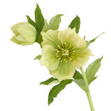 Digital oil drawn hellebore Stock Image