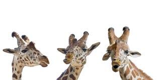 Giraffe head digital painting. Digital painting of giraffe portrait isolated on white background stock illustration