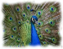 Portrait of Peacock Royalty Free Stock Image