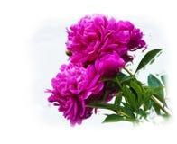 Purple Peony Flowers painting Stock Photos