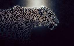 Digital photo manipulation of a leopard in Sri Lanka Stock Image
