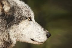 Digital Photography Background Of Grey Wolf Profile. Digital photography background of grey timber wolf profile isolated closeup royalty free stock photo