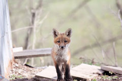 Digital Photography Background Of Wild Red Fox Pup Royalty Free Stock Image