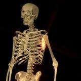 Digital Rendering of a human Skeleton Royalty Free Stock Photo