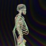 Digital Rendering of a human Skeleton Royalty Free Stock Photos