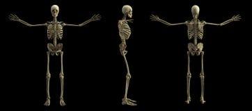 Digital skeleton model, 3d rendering stock illustration