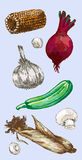 Digital vector detailed color vegetable hand drawn Stock Photos