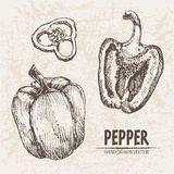 Digital vector detailed line art pepper vegetable Royalty Free Stock Photo