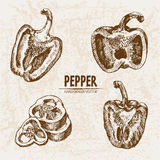Digital vector detailed line art pepper vegetable Stock Images