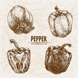 Digital vector detailed line art pepper vegetable Royalty Free Stock Image