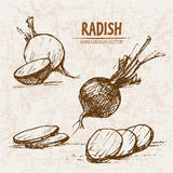 Digital vector detailed line art radish vegetable Royalty Free Stock Photos