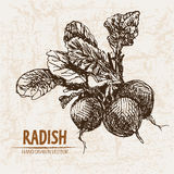 Digital vector detailed line art radish vegetable Royalty Free Stock Photography