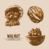 Digital vector detailed walnut hand drawn royalty free illustration