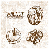 Digital vector walnut hand drawn illustration. Digital vector detailed walnut hand drawn retro illustration collection set. Thin artistic linear pencil outline Stock Photography