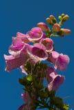 Digitale (digitale Purpurea) Images libres de droits