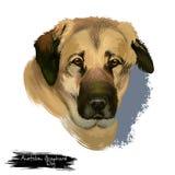 Digitale Kunstillustration anatolischer Schäfer-Dog lokalisiert auf weißem Hintergrund Anatolische Schäferhundemuskulöse Zucht mi Stockfoto