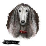 Digitale Kunstillustration der Afghanenzucht lokalisiert auf Weiß Nettes inländisches reinrassiges Tier Jagdhund unterschieden du Lizenzfreie Stockfotografie