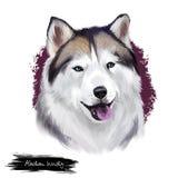 Digitale Kunstillustration der alaskischen heiseren Zucht lokalisiert auf Weiß Nettes inländisches reinrassiges Tier Malamuterein lizenzfreie abbildung