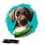 Digitale Kunstillustration der Deutsch Kurzhaar-Hunderasse lokalisiert auf Weiß Populäres Welpenporträt mit Text nett lizenzfreie abbildung