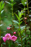 Digitale rose Photographie stock