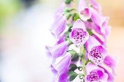 Digitalepurpurea, digitalis royalty-vrije stock afbeeldingen