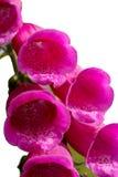 Digitales de fleurs d'isolement images stock