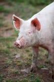 Digitalfotografie-Hintergrund von rosa Muddy Farm Pig Stockfotos